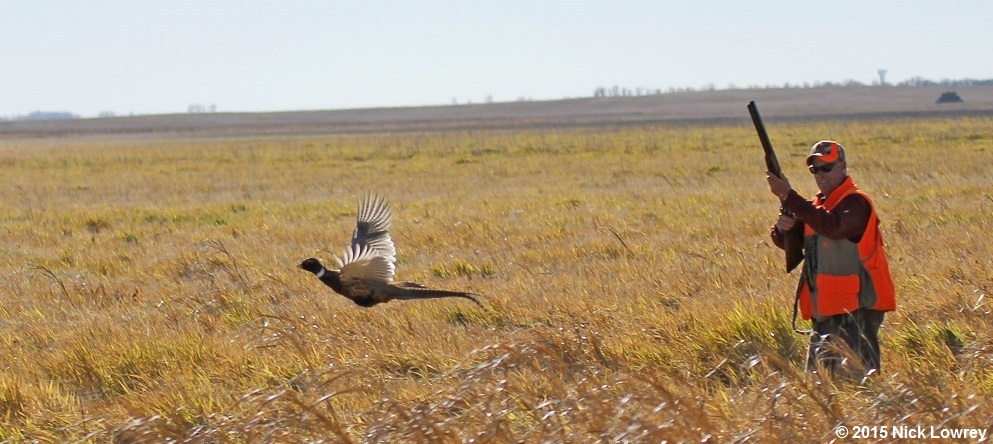pheasant hunting pictures - 993×444
